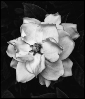 Another Gardenia